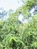 Beneficios de la acacia falsa, propiedades de la acacia