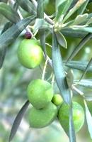 Propiedades medicinales del olivo