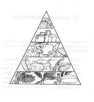 Como se forma la piramide alimenticia