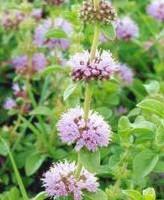 Plantas medicinales poleo