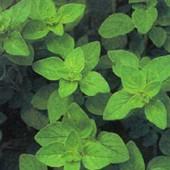 Beneficios del orégano como planta medicinal