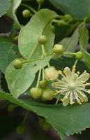 Plantas medicinales tila