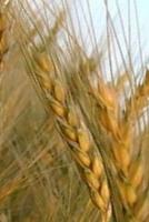 Para que sirve el trigo como planta medicinal