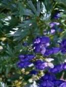 Plantas medicinales: Planta Acónito o Napelo