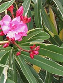 Beneficios de la planta adelfa, propiedades de la planta baladre