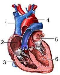 Funcionamiento del corazón humano
