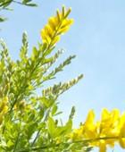 Beneficios de la planta aliaga, propiedades de la planta aulaga