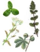 Té de hierbas medicinales para curar las várices