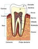 ¿De qué esta formado un diente?