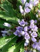 Beneficios de las mandrágoras, propiedades de la mandrágora