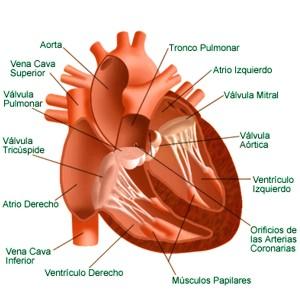 Dónde se ubica el corazón en nuestro cuerpo