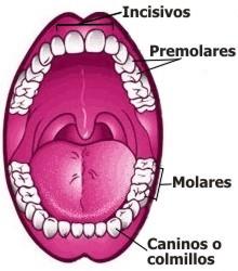 ¿Cuántos dientes tenemos en la boca?