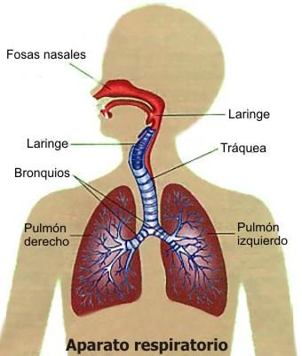 Cómo esta conformado el aparato respiratorio