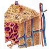 Cuáles son las células de los huesos