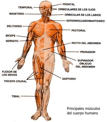 Sistema muscular del cuerpo humano y sus partes, Principales ...