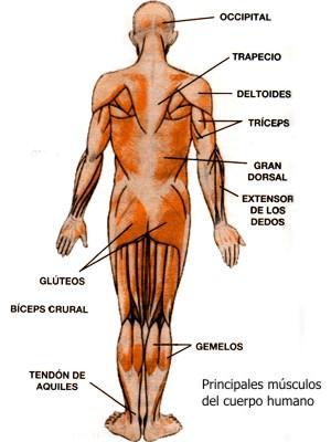 Principales músculos del cuerpo humano con imágenes
