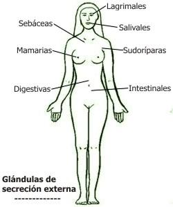Cuáles son las glándulas de secreción externa