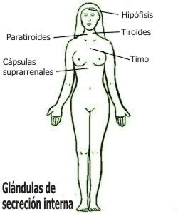 Cuáles son las glándulas de secreción interna