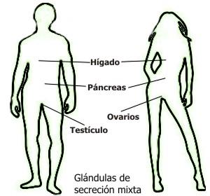 ¿Cuáles son las glándulas de secreción mixta?