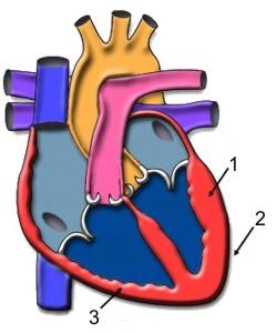 Cuál es el músculo cardiaco
