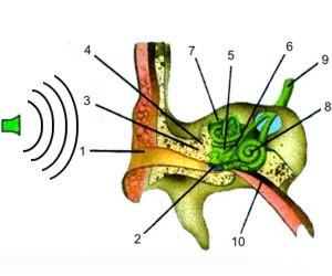 Cómo oímos los seres humanos