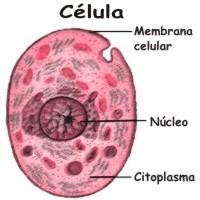 ¿Cuántas células mueren diariamente en el cuerpo humano?