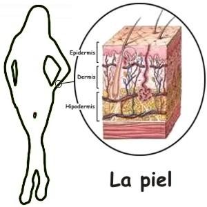 En qué nos ayuda la piel en nuestro cuerpo