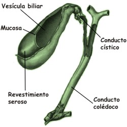 Qué función cumple la vesícula biliar