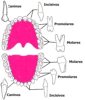 Clasificación de los dientes según su función