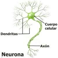 Qué función tiene el sistema nervioso en el ser humano