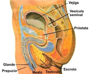 Órganos genitales femeninos y masculinos
