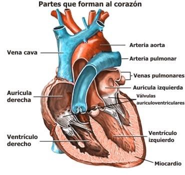 Cuáles son las partes del corazón humano y sus funciones ...
