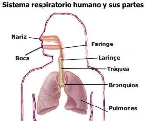 Qué hace el aparato respiratorio
