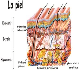 Principales funciones de la piel