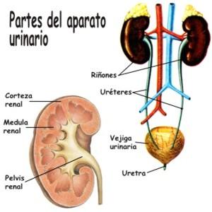 Cómo está formado el aparato urinario humano