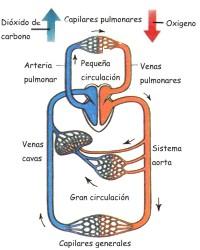 Cómo es el funcionamiento del sistema circulatorio