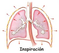 Fases de la respiración humana