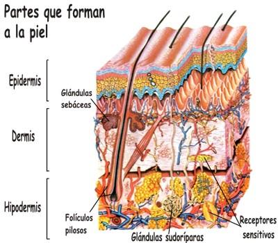 Formación de la piel