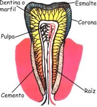 Elementos del tejido dentario