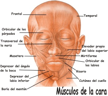 Músculos que integran la cara