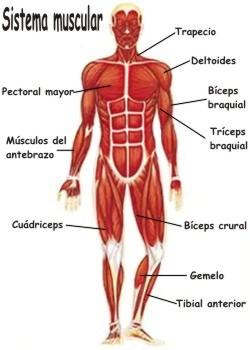 Partes que forman el sistema muscular