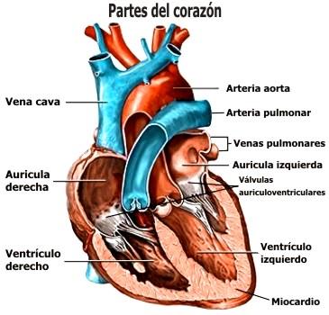 ¿Cuáles son los tipos de enfermedades del corazón?