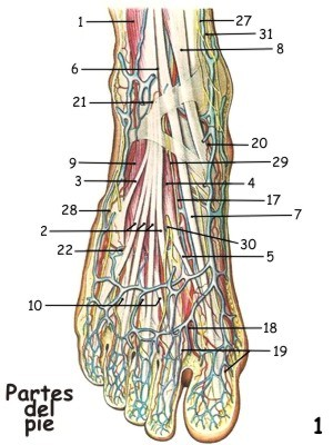 Imágenes de los músculos, tendones y nervios del pie, Anatomía de ...