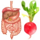 El rábano es bueno para los procesos digestivos
