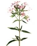 Beneficios y propiedades curativas de la saponaria officinalis