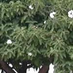 Propiedades del té del árbol de anacahuita