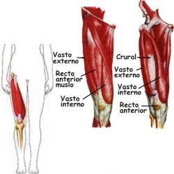 ¿Dónde están ubicados los músculos cuádriceps?