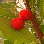 Para que sirve el fruto del madroño (Arbutus unedo L.)