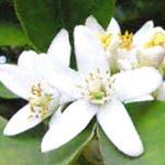 Para que es bueno el té de flores de azahar