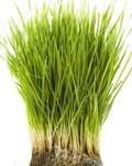 ¿Qué cura el pasto de trigo orgánico?